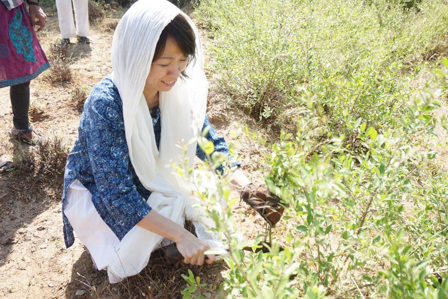 エコノワヘナ社長もインドで収穫お手伝い