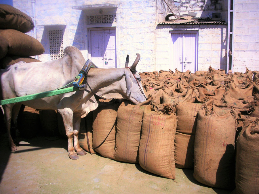 ヘナ収穫と牛